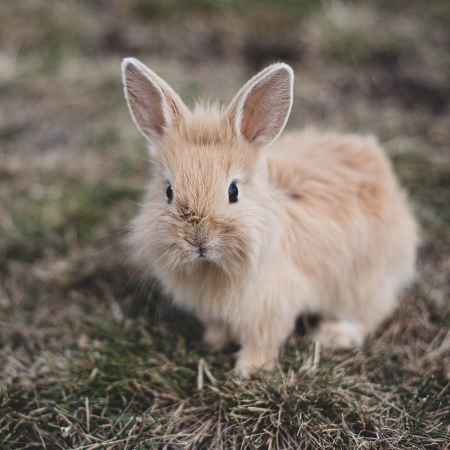 Bur til kanin